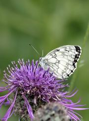 Marbled White by WildStock